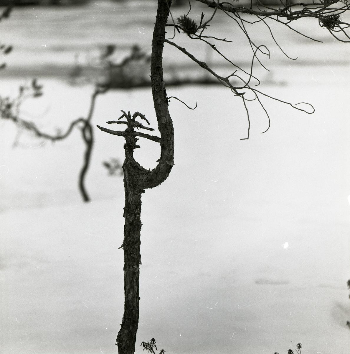 Ett träd med böjd trädstam och en kvisttäckt stump står intill Stråsjön, 7 april 1979.