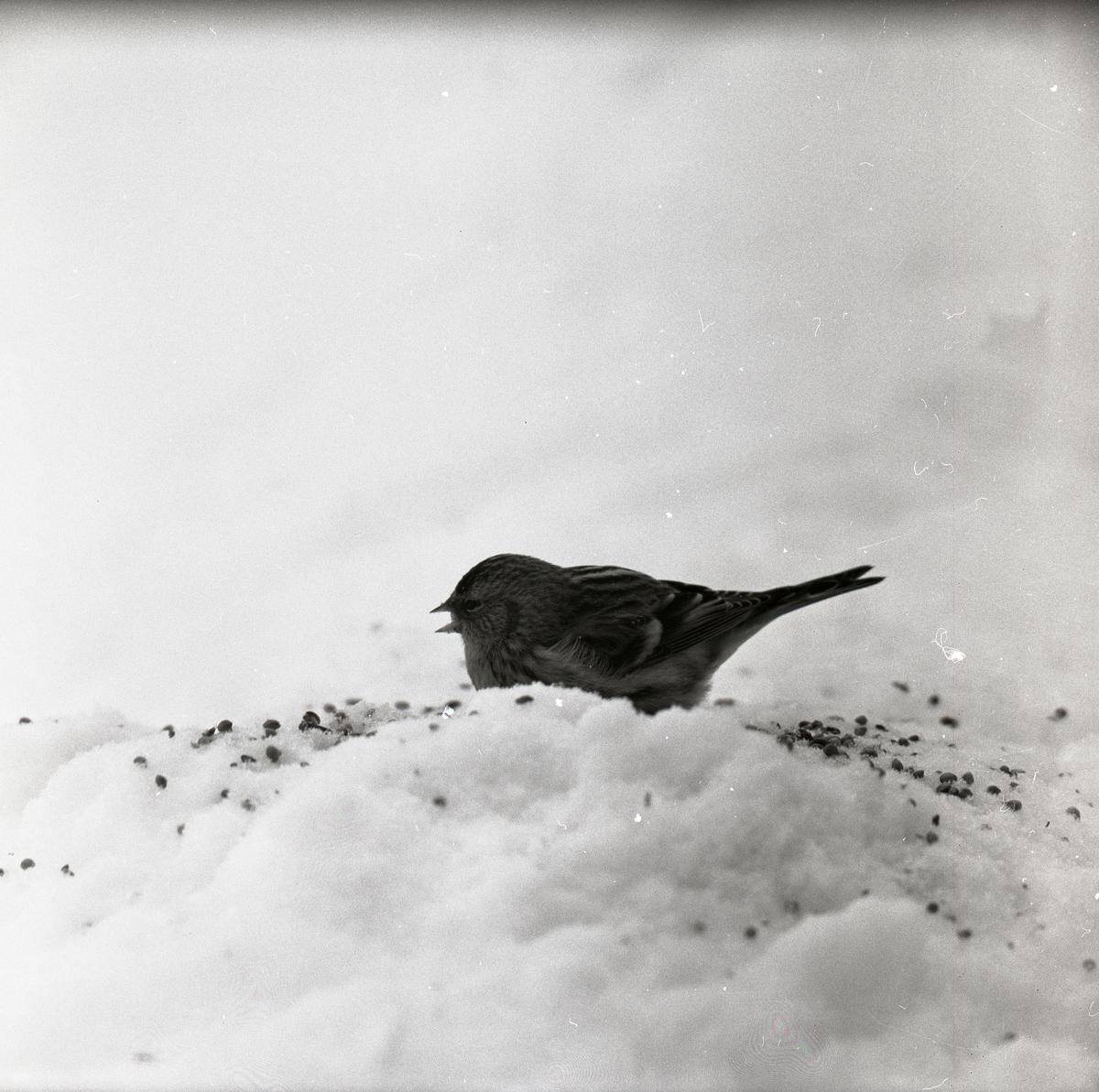 En gråsiska sitter i snön den 29 februari 1960.