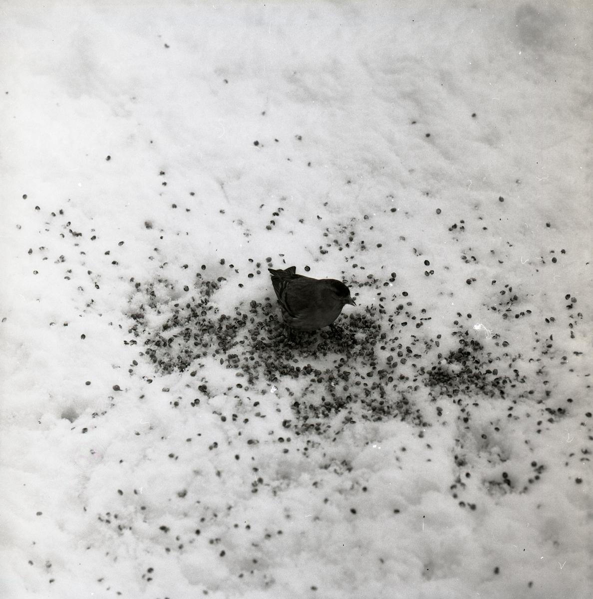 En grönsiska sitter i snön den 1 maj 1967.