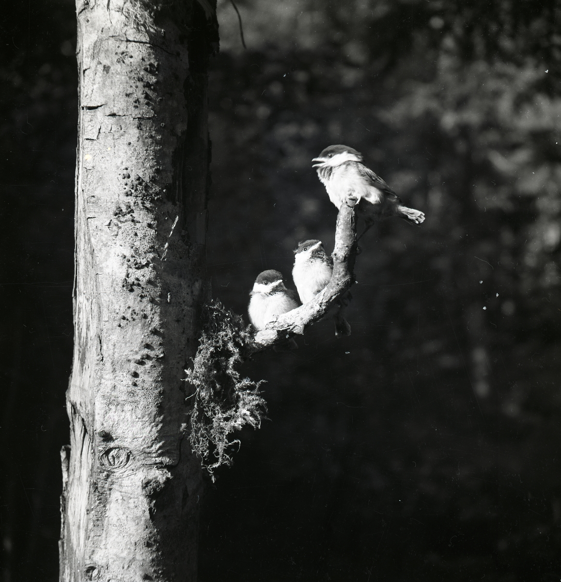 Tre fågelungar sitter på en trädgren.