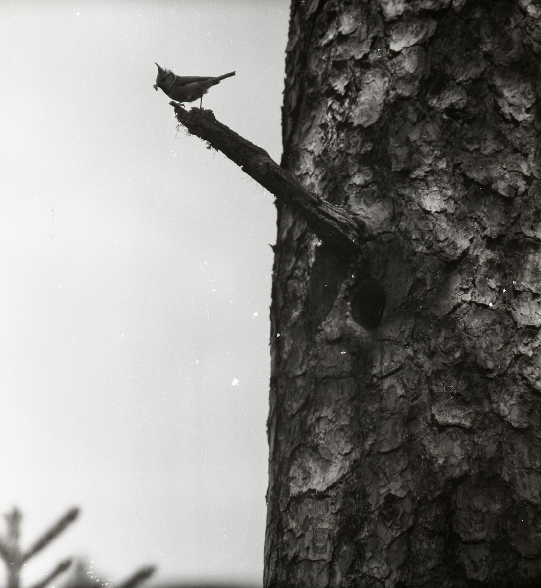 En tofsmes sitter på en gren vid Storsjön i Rengsjö den 1 juni 1957.