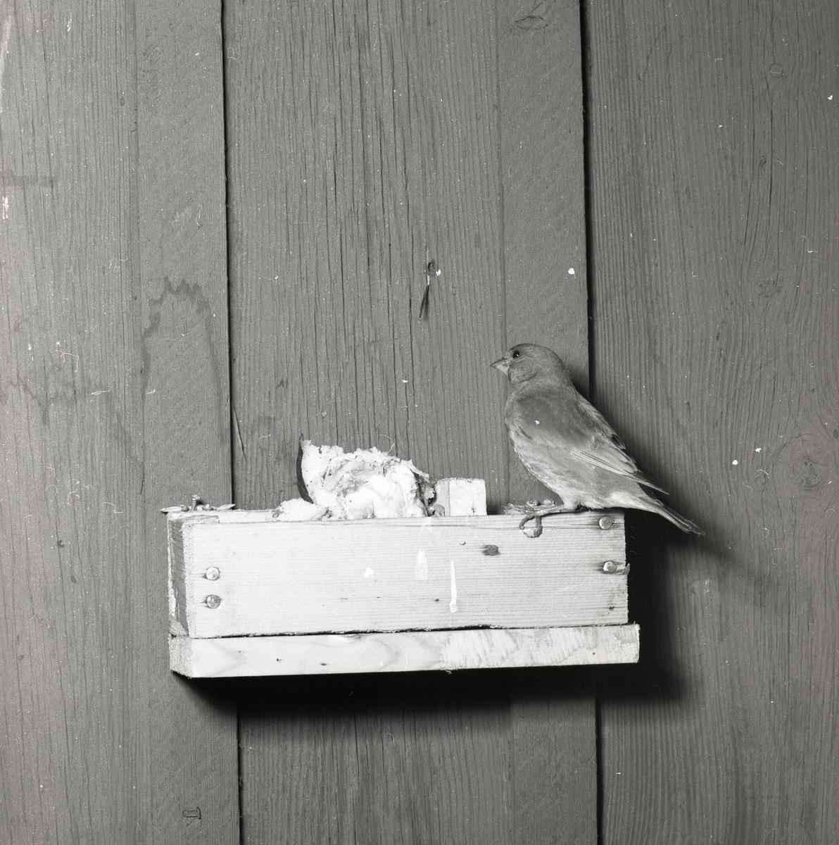 En grönfink sitter på kanten av en frölåda den 28 april 1956.