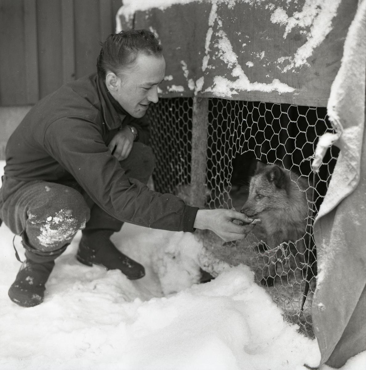En man matar en fjällräv i Krokberg, 5 december 1959.