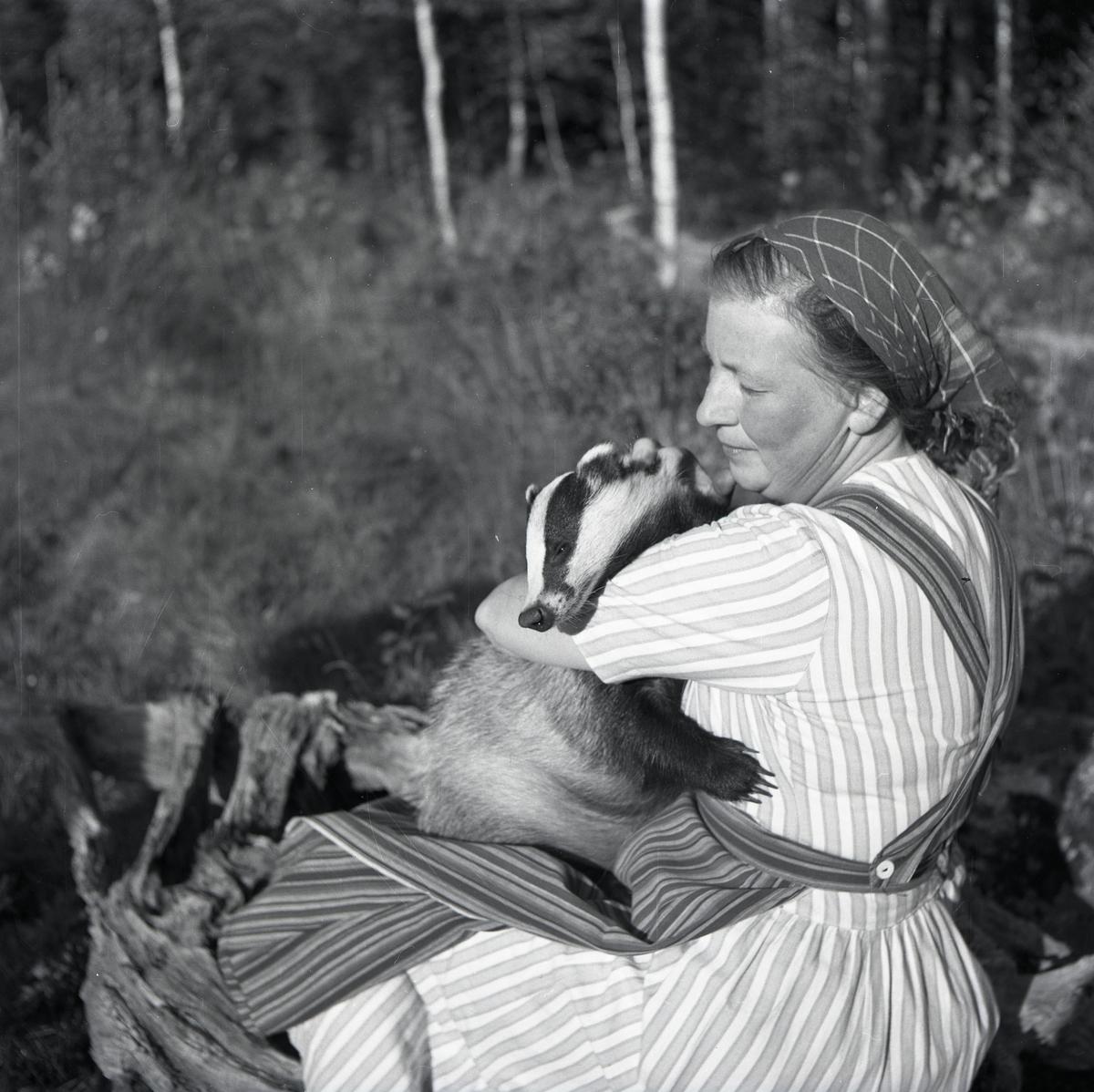 En kvinna sitter på en trädformation och håller en grävling i famnen, 13 augusti 1952.