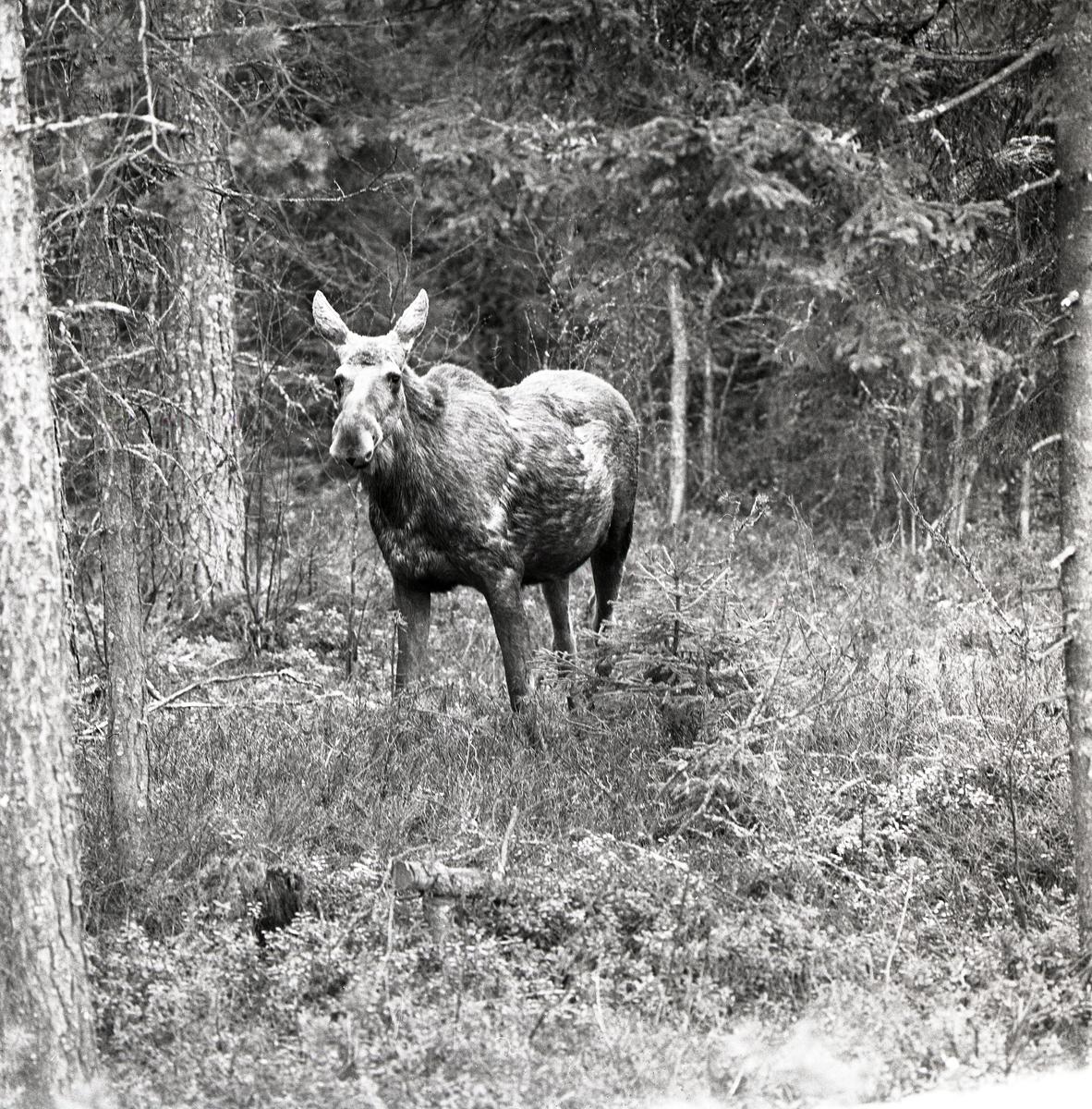 En älgko står vid en skogsglänta söder om Gysinge, 12 maj 1979.