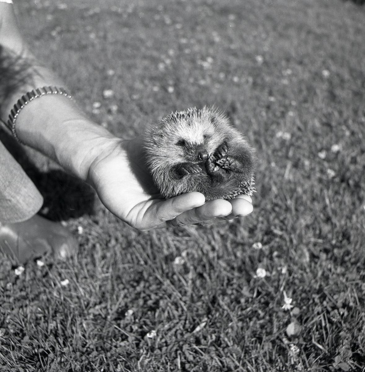 En person håller en igelkott i sin hand, juli 1975.