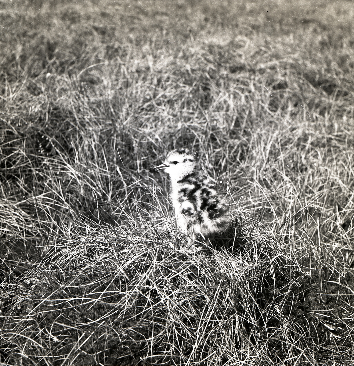 En spovunge står i gräs, juni 1950.