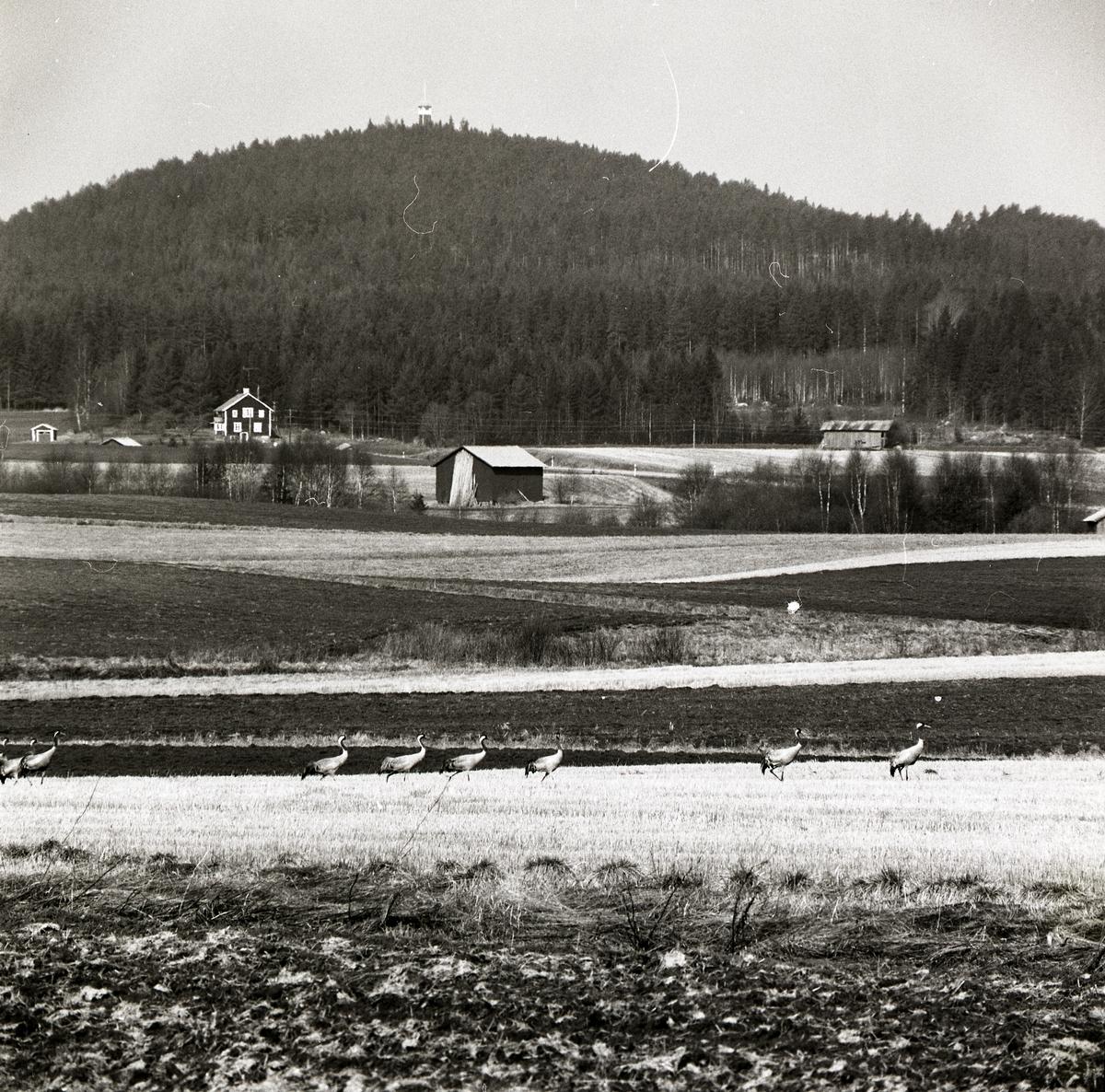 En tranflock står på en åker framför hus och berg, maj 1983.