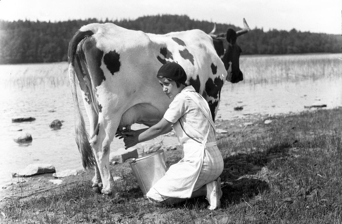 """På en strand sitter en kvinna på knä och mjölkar en ko. I fotografens anteckningar står det """"35 films fr. semester på Halö""""."""