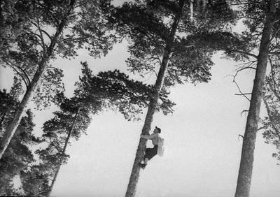 Konglesanking i furutrær