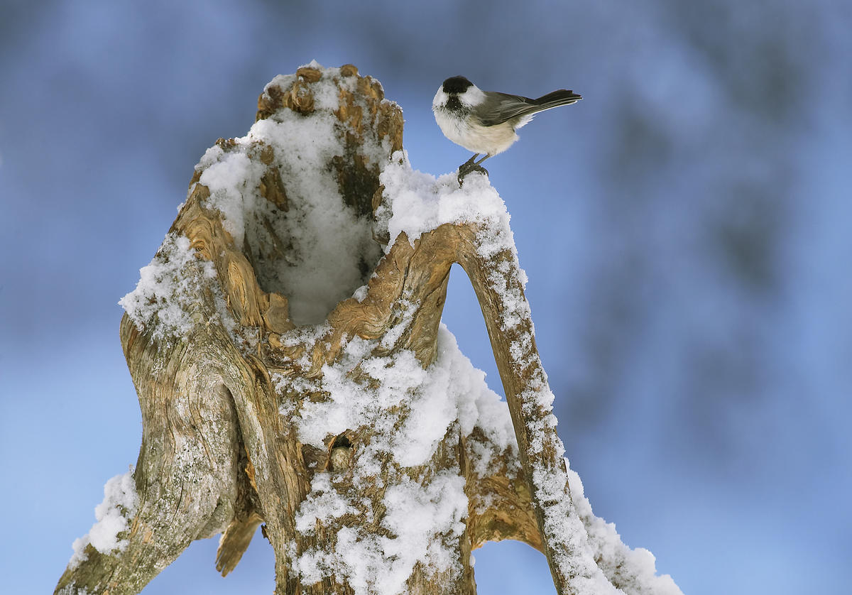 Vinterbilde av meis. (Foto/Photo)