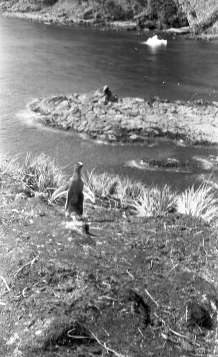 Pingvin med vann i bakgrunnen. Suderøy på vei til fangstfeltet.