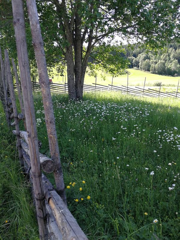 Sommer på Almenninga (Foto/Photo)