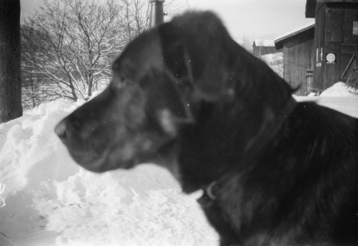 """Hunden """"Max"""" hjemme hos Wold på Linjordet- blanding av schäfer og gordonsetter"""