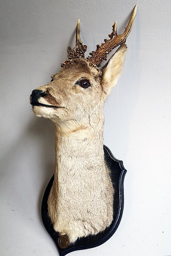 Hjortegevir montert på skjoldforma treplate