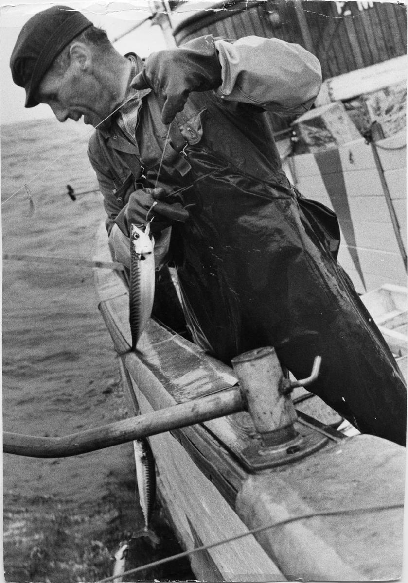 Hans Holme fisker makrell på båten Emily av Utsira