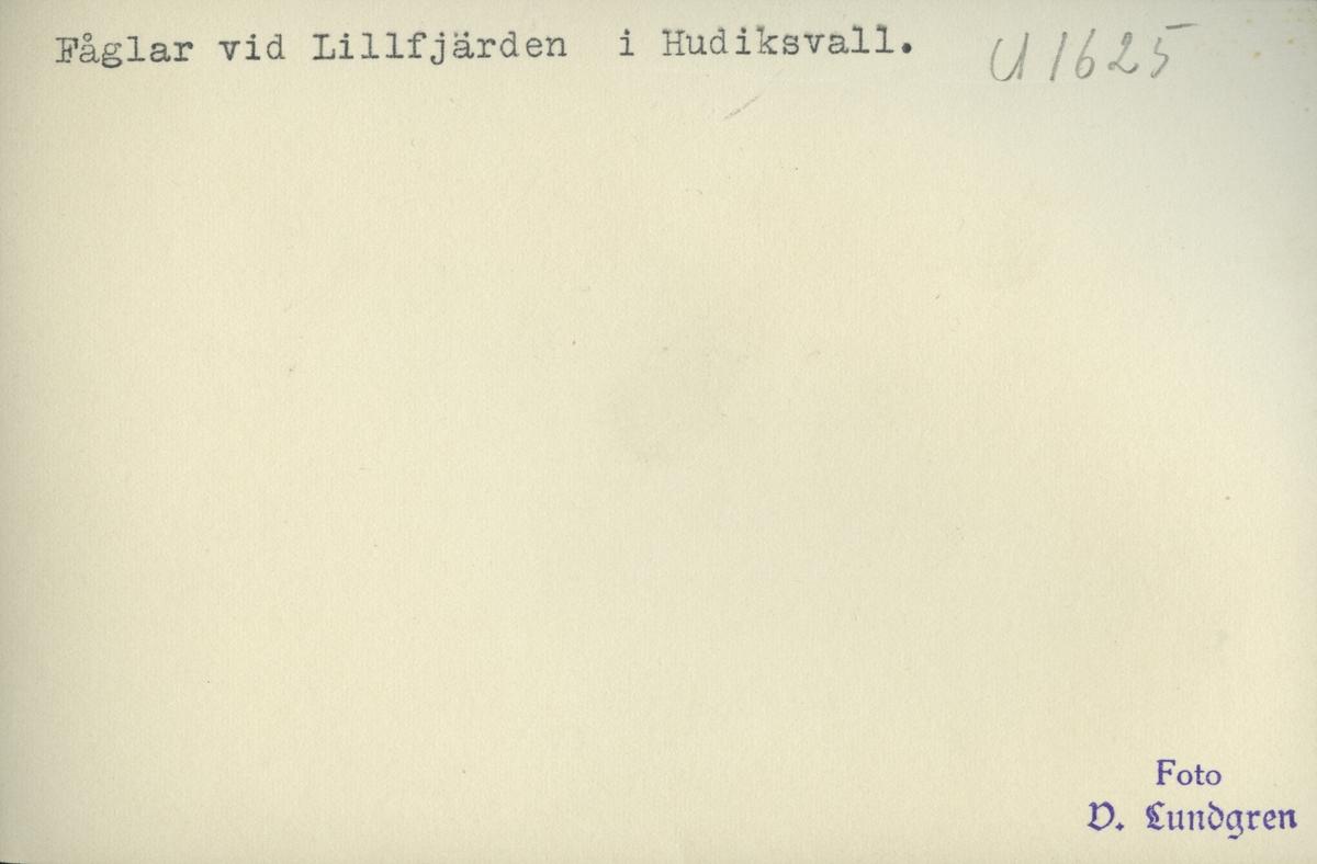 Fågelliv i Lillfjärden, Hudiksvall.
