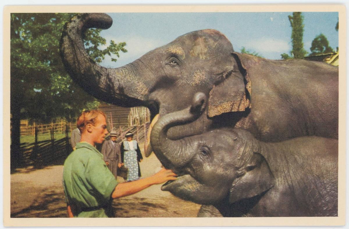 """Vykort med motiv från Skansen.""""Elefanterna Lunkentuss och Bambina""""."""