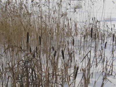 Foto av dunkjevle i vinterbakgrunn