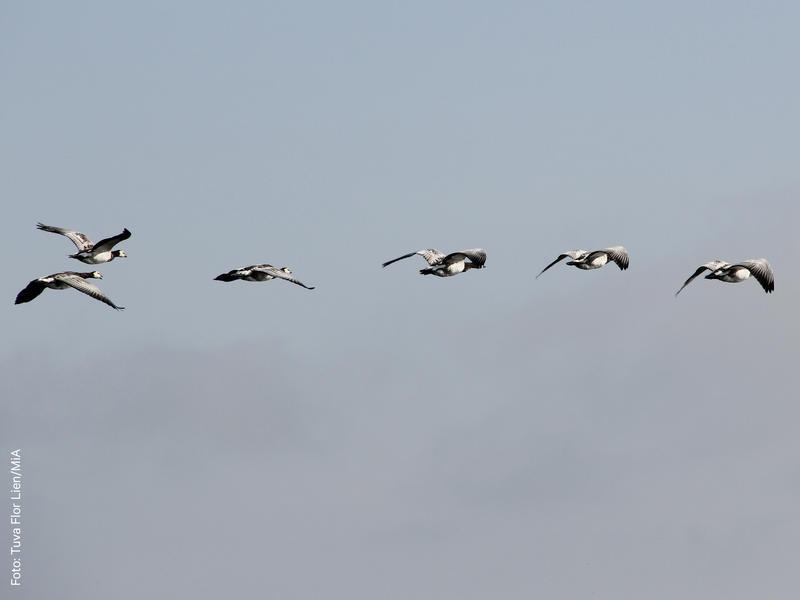 Foto av en flokk med grågås