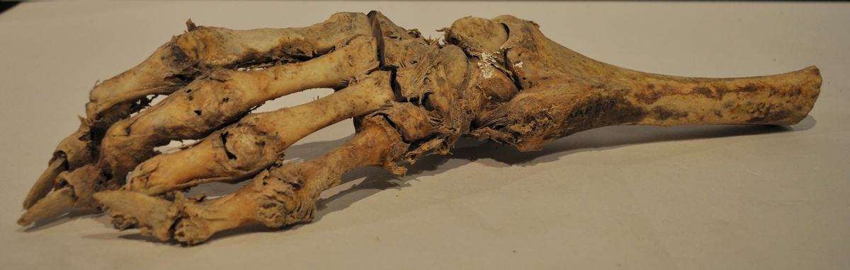 Kranium från isbjörn, ram från isbjörn samt knäled och skenben från isbjörn.