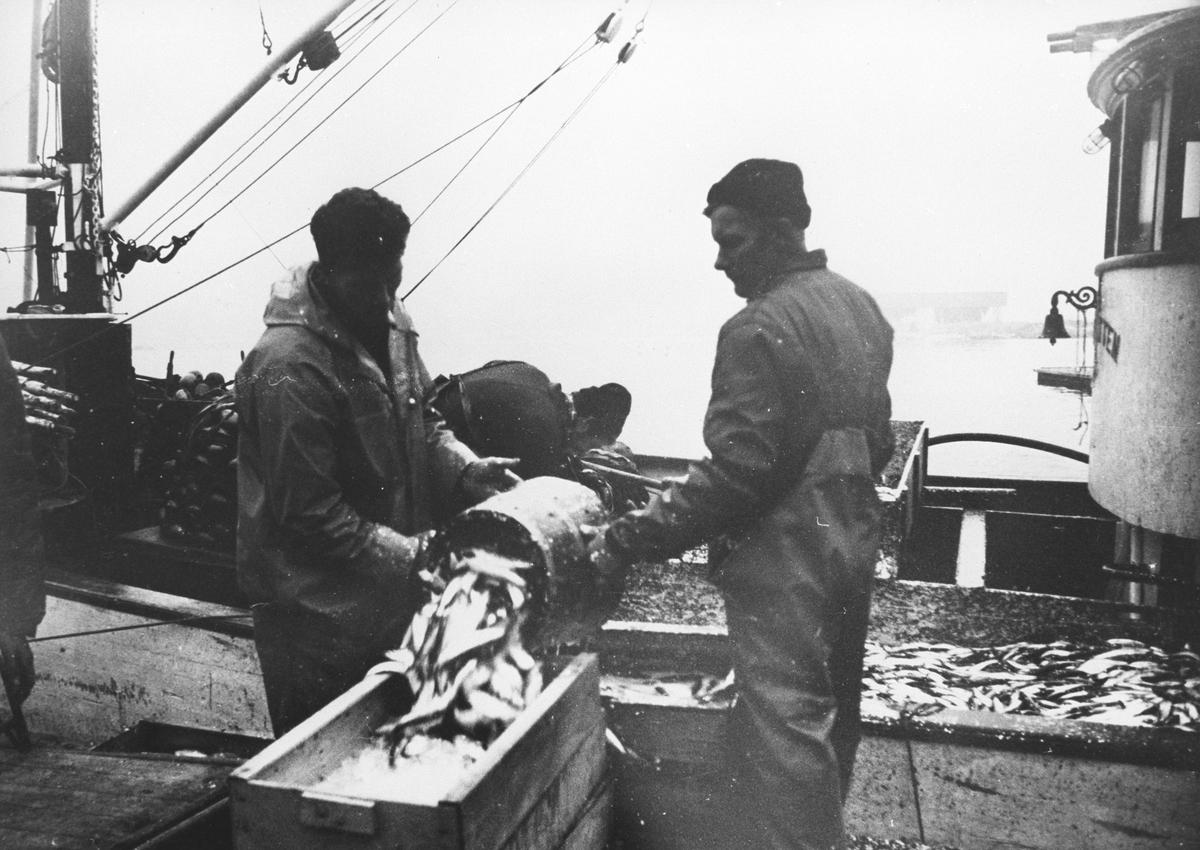 """To menn på brygga lesser opp sildefangst fra notbåten """"Støagutten"""" fra Rygge."""