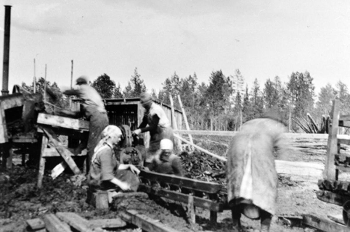Leikmyra torvfabrikk, torvproduksjon, Furnes Almenning. 5 kvinner arbeider.