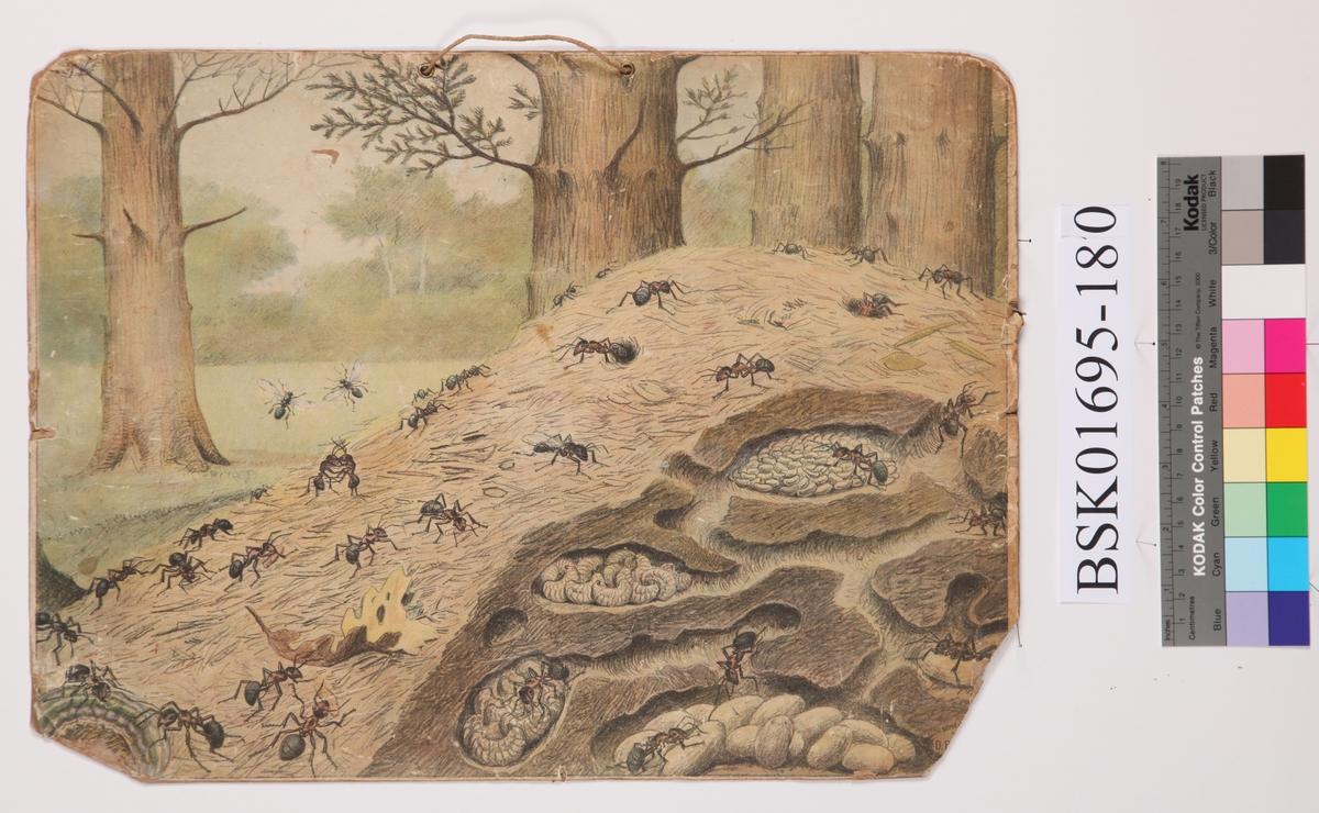 Maur og maurtue