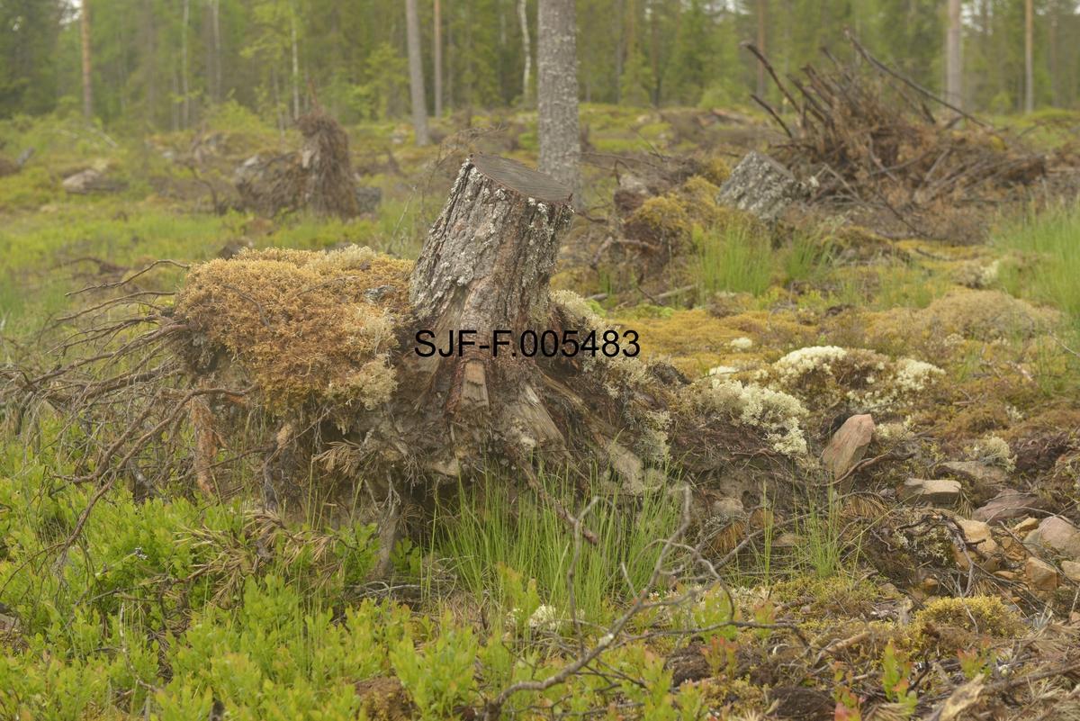 Ryddet stormskadd areal like vest for Hellebekkoia i Sormerudskogen lengst sør i Elverum kommune.  Fotografiet viser ei stubbet rotvelte i utkanten av et slikt stormfellingsområde. Fotografiet er tatt i begynnelsen av juni 2013, om lag halvannet år etter at stormen feide over ende om lag 15 000 kubikkmeter med tømmerskog på denne eiendommen.  I mellomtida var tømmeret ryddet fra de stormrammede flatene, og arealet var dermed klargjort for foryngelse.  På såpass store flater som denne skulle det skje ved hjelp av en svensk «donare», en diger rammestyrt traktor med stjerneformete grabbhjul som skulle lage rifter i markdekket og så furufrø i mineraljorda som ble blottlagt bak maskinen.  Da dette fotografiet ble tatt kunne man se oppslag av små furu- og granplanter etter frøfall fra omkringstående skog, men for å få en tilfredsstillende bestokning satses det altså på markberedning og såing av furu, til en viss grad også på planting av gran i luftig forband.  Mer informasjon om driften av Sormerudskogen finnes under fanen «Andre opplysninger».   Stormen Dagmar herjet Sør-Norge i jula 2011.  Uværet, som i kyststrøkene ble kategorisert som orkan, gjorde betydelige skader, særlig i Sogn og Fjordane, Møre og Romsdal og Trøndelag, men også i innlandet, der den enkelte steder feide over ende mye skog.  Dette skjedde blant annet i Sormerudskogen lengst sør i Elverum, der dette fotografiet er tatt.