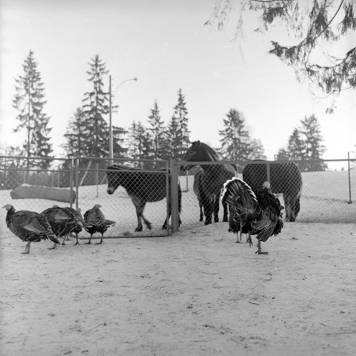 Hos Edvin Thorson. Ponnier og kalkuner. Fotografert 1962.
