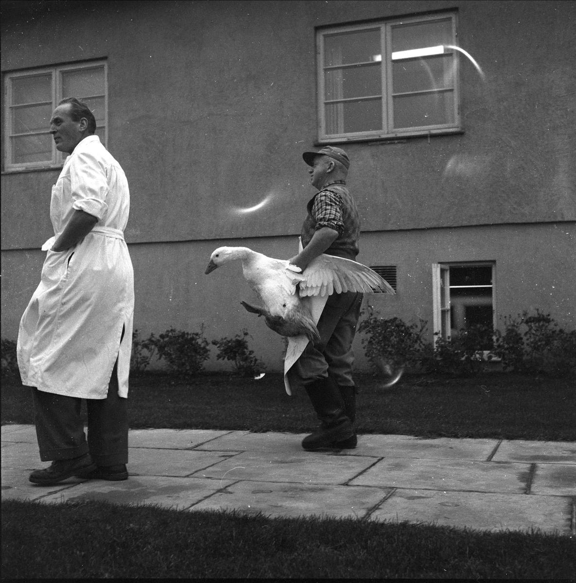 Mortensgås i Rakkestad, slakteferdige gjess, Rakkestad, 10.11.1958