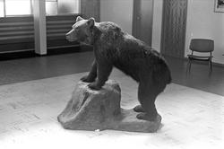 Trysil 1961. Utstoppet bjørn i en sal.