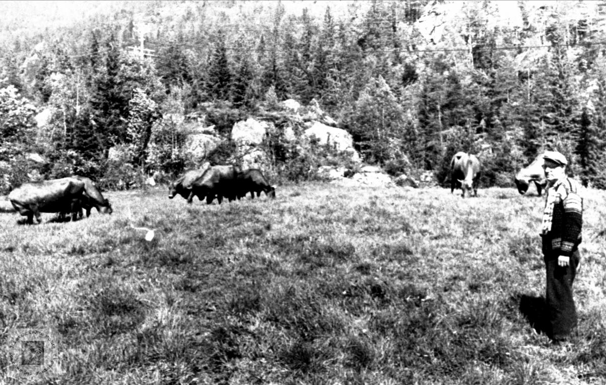 Søren Manflå med kyr på beite, Sunde Bjelland.