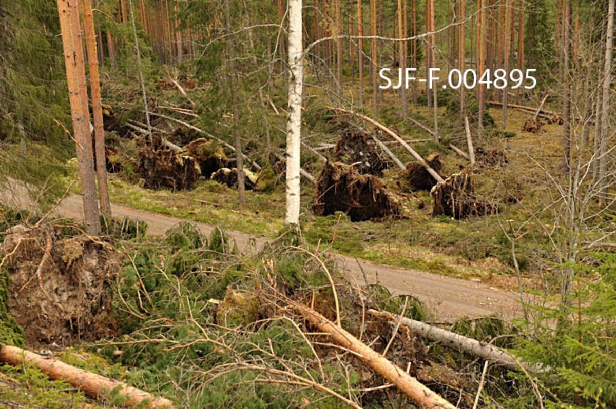 Bilde av opprydningen etter Dagmar, her viser bildet området før opprydningsarbeidet tar til. Siden det var lite tele i bakken under stormen, er det få trær som knakk i stormen. Rota fulgte derfor med i vindfallet.   Bildet er tatt på en hogstflate i Sormerudskogen i Elverum, hvor det var et stort felt med stormfelte trær øst for Rv. 2. Bildet er tatt i forbindelse med dokumentasjon av skader etter stormen Dagmar som herjet i romjula 2011. Opprydningsarbeidet foregikk fortsatt i mai 2012, da Norsk Skogmuseum dokumenterte dette arbeidet.