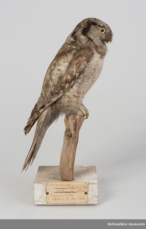Gammal hane. Haparanda 31 maj 1832. Skjuten av Herr Hjalm. Stenius.  Ur handskrivna katalogen 1957-1958: Hökuggla