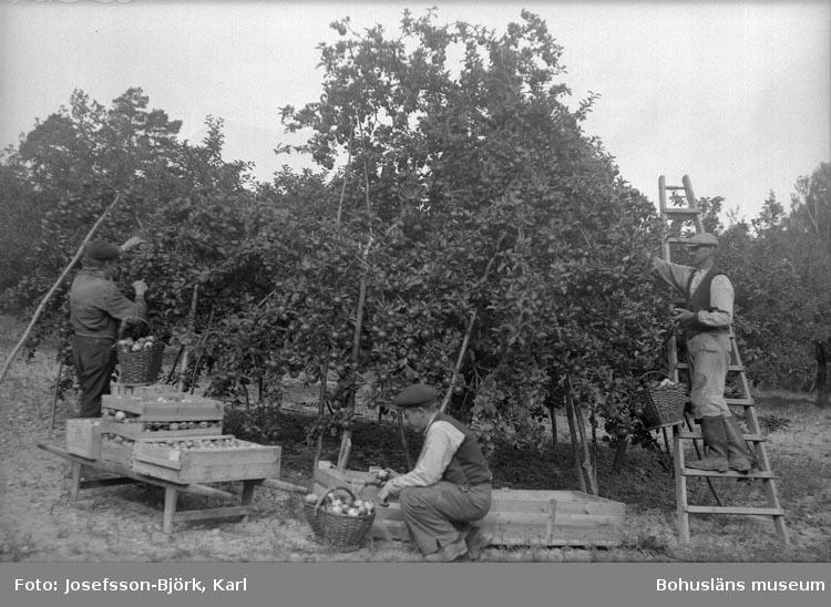 Äppleskörden tas omhand i Ramdalens handelsträdgård