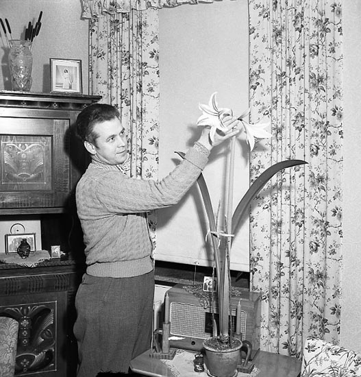 """Vacker lilja februari 1951"""