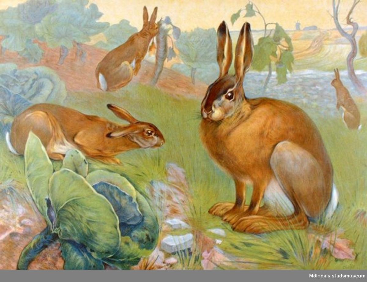 Biologi.Hare/Lepus Timidus.