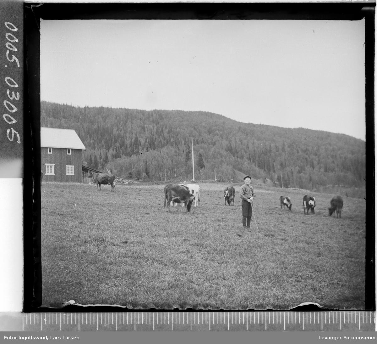 En gutt med kyr på et jorde.