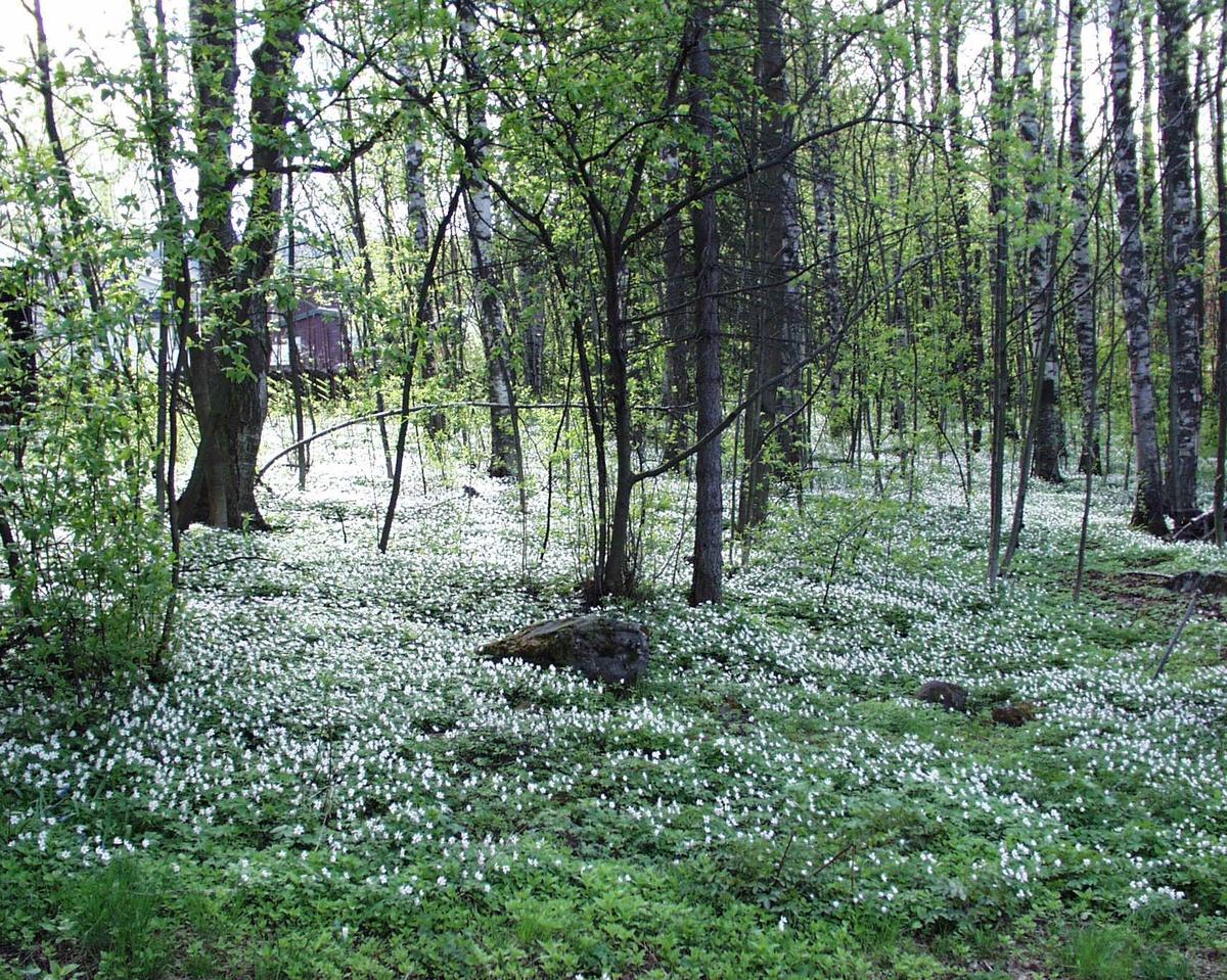 DOK:2003, Bjerkebæk, blomster, skogbunn, hvitveis,