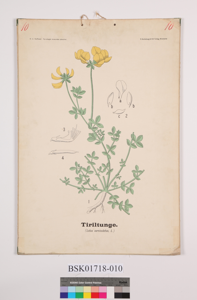 Blomt. Tiriltunge