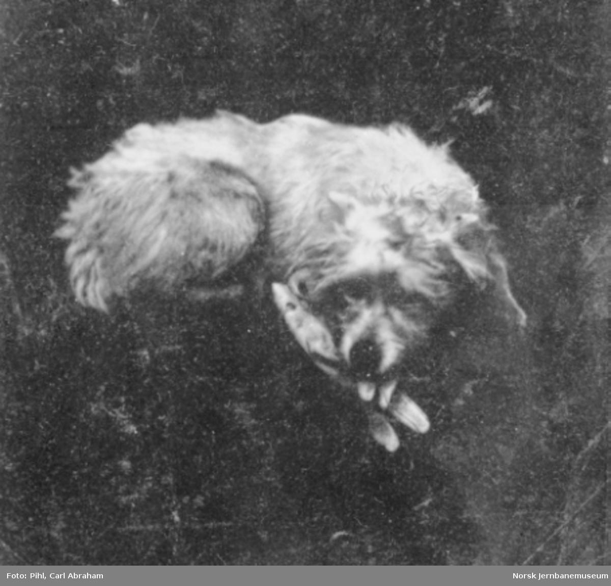 Pihls hund